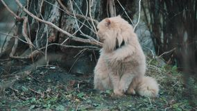 Большой пушистый кот сток-видео