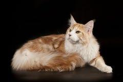 Большой пушистый сметанообразный красный енот Мейна кота на черной предпосылке Стоковые Фото