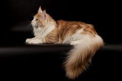 Большой пушистый сметанообразный красный енот Мейна кота на черной предпосылке Стоковая Фотография