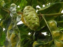 Большой плодоовощ morinda Стоковая Фотография