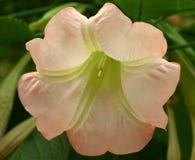 Большой розовый, желтый, и белый цветок трубы Стоковое Изображение RF