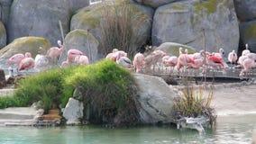 Большой розовый фламинго очищает пер в естественном парке пруда сток-видео