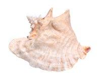 Большой розовый seashell раковины ферзя Стоковая Фотография RF