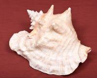 Большой розовый seashell раковины ферзя Стоковое Изображение RF
