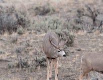 Большой самец оленя оленей осла выбирает вверх на нюхе Стоковая Фотография RF