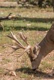 Большой самец оленя оленей осла пася Стоковое Фото