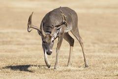 Большой самец оленя Whitetail распространения в колейности Стоковое Фото