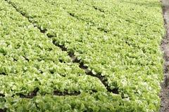 Большой сад салата Стоковая Фотография RF