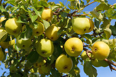 Большой сбор зрелых желтых груш вися на ветви дерева в саде Стоковые Изображения