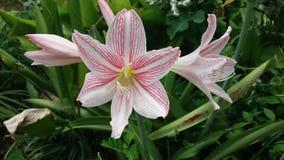 Большой свежий цветок 3 белый и розовый Стоковое Изображение
