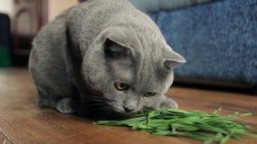 Большой серый кот дома жуя зеленую траву акции видеоматериалы