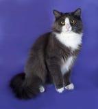 Большой серый пушистый кот при белые пятна сидя на сини Стоковые Фото