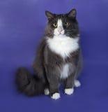 Большой серый пушистый кот при белые пятна сидя на сини Стоковые Изображения RF