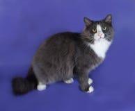 Большой серый пушистый кот при белые пятна сидя на сини Стоковое Изображение