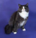 Большой серый пушистый кот при белые пятна сидя на сини Стоковая Фотография RF