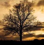 Большой силуэт дуба Стоковая Фотография RF