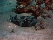 Большие рыбы скалозуба Стоковые Фото