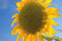 Большой солнцецвет против голубого неба Стоковая Фотография RF