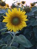 Большой солнцецвет Стоковое Изображение RF