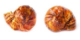 Большой спиковой seashell на белизне. Стоковые Фотографии RF