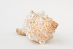 Большой спиральный крупный план раковины моря Стоковое фото RF