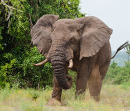 Большой старый слон бежит прямо на вас вышесказанного Кения Танзания serengeti Maasai Mara стоковые фотографии rf