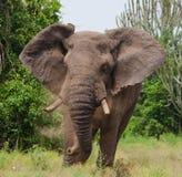 Большой старый слон бежит прямо на вас вышесказанного Кения Танзания serengeti Maasai Mara стоковые фото