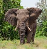 Большой старый слон бежит прямо на вас вышесказанного Кения Танзания serengeti Maasai Mara стоковое изображение rf