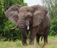 Большой старый слон бежит прямо на вас вышесказанного Кения Танзания serengeti Maasai Mara стоковая фотография rf