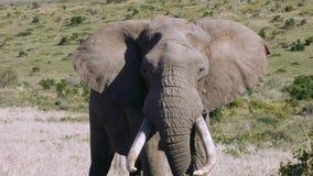 Большой слон быка видеоматериал