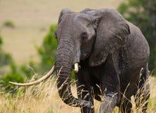 Большой слон в саванне вышесказанного Кения Танзания serengeti Maasai Mara стоковые изображения rf