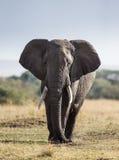 Большой слон в саванне вышесказанного Кения Танзания serengeti Maasai Mara стоковое изображение rf