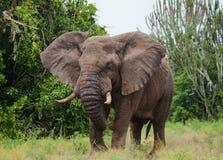 Большой слон в саванне вышесказанного Кения Танзания serengeti Maasai Mara стоковое фото
