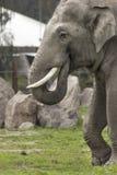 Большой слон идя на траву стоковое изображение