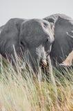 Большой слон от задней высокорослой травы Стоковые Изображения
