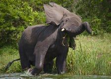 Большой слон стоя в воде и сердитый вышесказанного Кения Танзания serengeti Maasai Mara стоковое фото