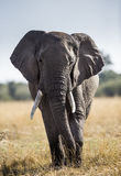 Большой слон стоя в саванне вышесказанного Кения Танзания serengeti Maasai Mara стоковое изображение
