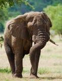 Большой слон стоя в саванне вышесказанного Кения Танзания serengeti Maasai Mara стоковые изображения