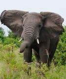 Большой слон стоя в саванне вышесказанного Кения Танзания serengeti Maasai Mara стоковая фотография