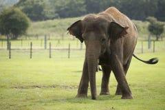 Большой слон Стоковые Изображения