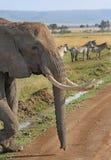 Большой слон Bull с зеброй на заднем плане Стоковые Изображения RF