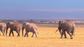 Большой табун африканских слонов идя на саванну Amboseli Кения сток-видео