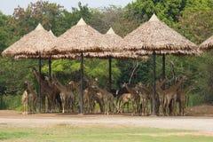 Большой табун жирафа в зоопарке Стоковая Фотография