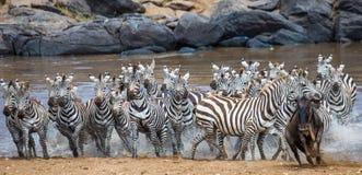 Большой табун зебр стоя перед рекой Кения Танзания Национальный парк serengeti Maasai Mara Стоковые Изображения RF