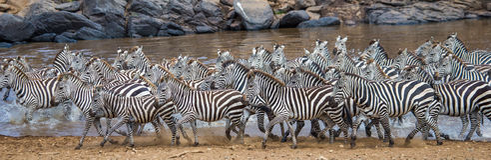Большой табун зебр стоя перед рекой Кения Танзания Национальный парк serengeti Maasai Mara Стоковое Фото
