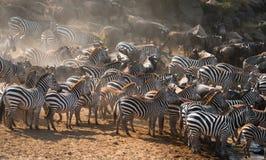 Большой табун зебр стоя перед рекой Кения Танзания Национальный парк serengeti Maasai Mara Стоковое фото RF