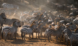 Большой табун зебр стоя перед рекой Кения Танзания Национальный парк serengeti Maasai Mara Стоковое Изображение