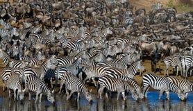 Большой табун зебр стоя перед рекой Кения Танзания Национальный парк serengeti Maasai Mara Стоковые Фото