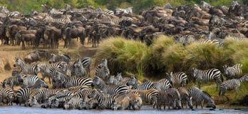 Большой табун зебр стоя перед рекой Кения Танзания Национальный парк serengeti Maasai Mara Стоковая Фотография