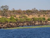 Большой табун индийских буйволов выпивая от реки Chobe, Chobe NP, Ботсваны, Африки Стоковая Фотография RF